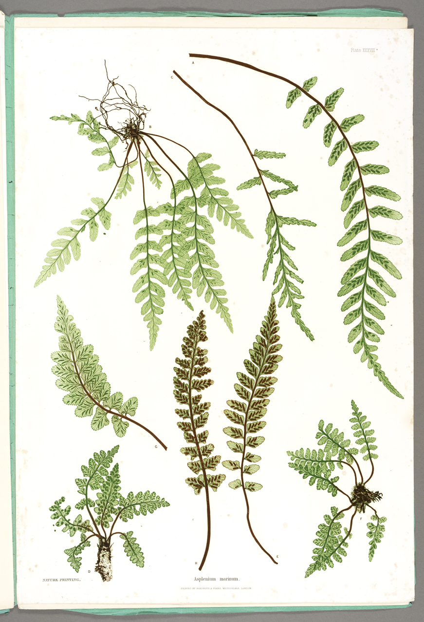 The Ferns of Great Britain and Ireland