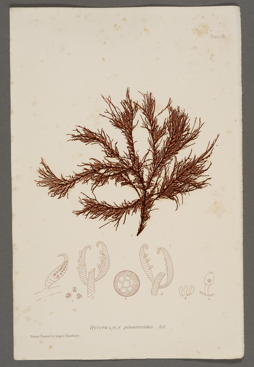 Nature-Printed British Seaweeds