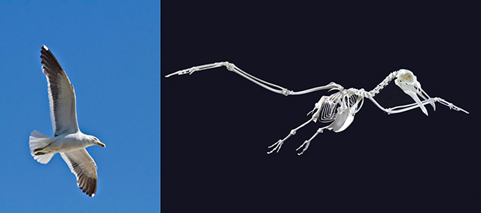 A black-backed gull in flight is supported by an amazing skeleton adapted for life in the air.