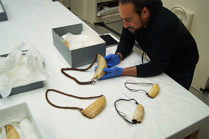 Daren Kamali selecting tabua from the Auckland Museum collection.
