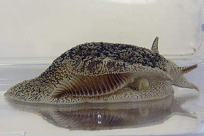 Be careful on beaches at the end of winter when the  toxic grey side-gilled sea slug can often be found on the sand.