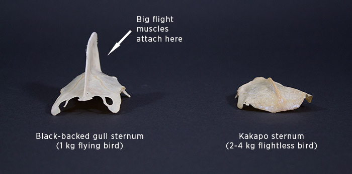 The breast bones (sternum) of a black-backed gull and kakapo.