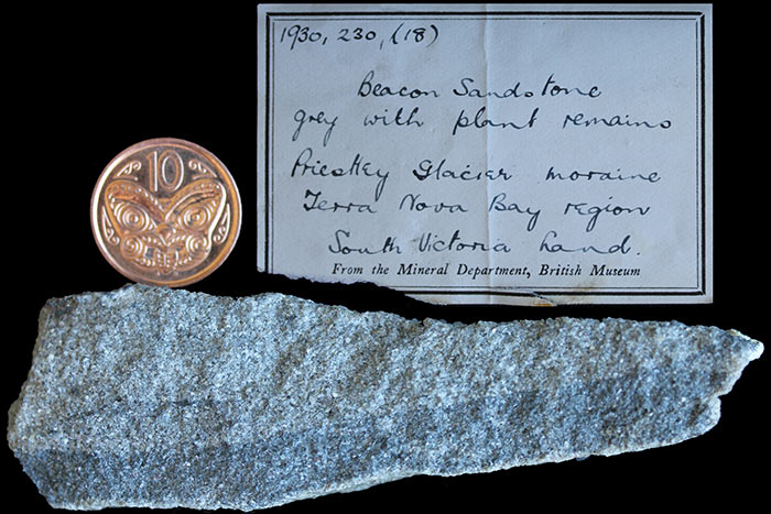 Beacon Sandstone, Terra Nova Bay, collected by Raymond Priestly on the Terra Nova Expedition (Scott 1910) and later purchased from the British Museum.