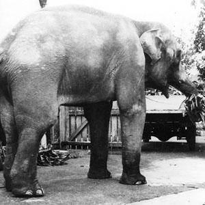 Wembley Boys Elephant