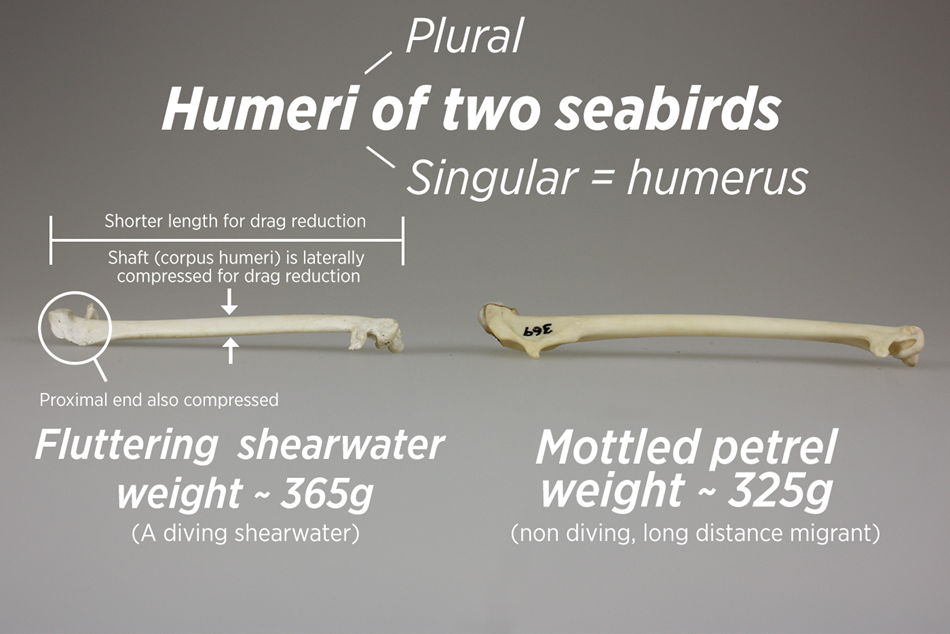 Shearwater wings show adaptations for underwater flight in comparison with those of similar sized seabirds that don\u0027t dive.