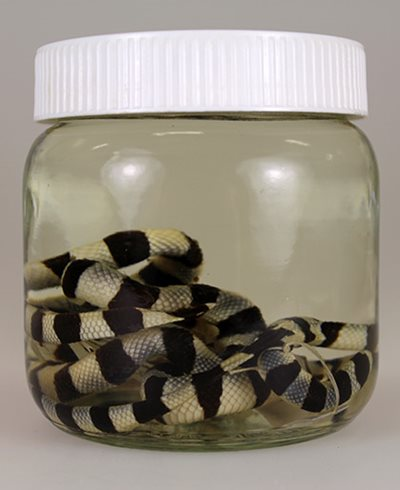 Yellow-lipped sea krait \u003cem\u003eLaticauda colubrina\u003c/em\u003e (LH3025 and LH1326), collected from Whangaruru Harbour in the Bay of Islands, preserved in ethanol in the Auckland Museum Land Vertebrates Collection.