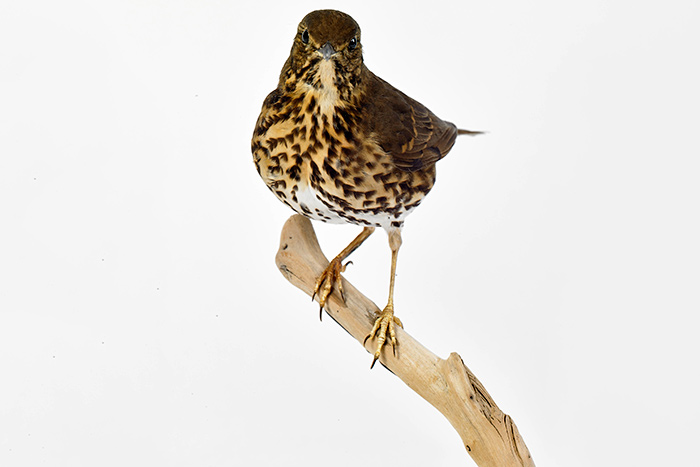 Turdus philomelos (Song thrush), 2003, collected in Cornwall Park, Auckland.