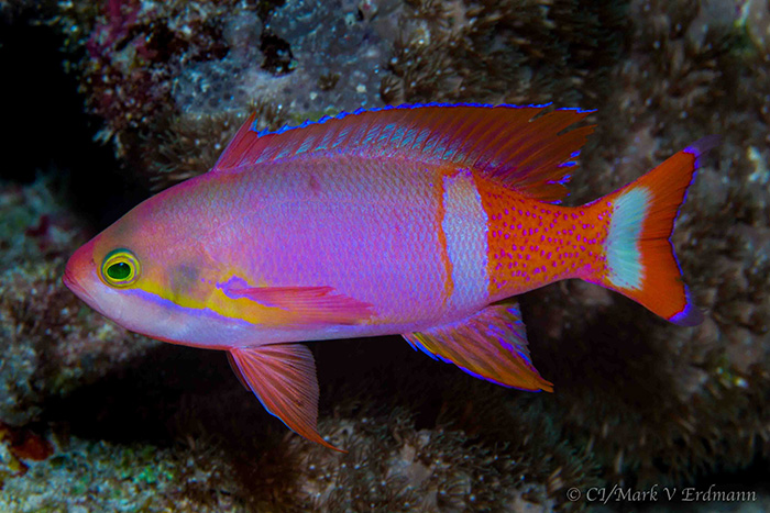 Pseudanthias pictilis - one of the stunning fish recorded in the Lau Group, Fiji.