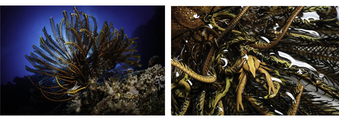 There's no place like a crinoid: some invertebrate species make their home within crinoids without causing these organisms any harm.