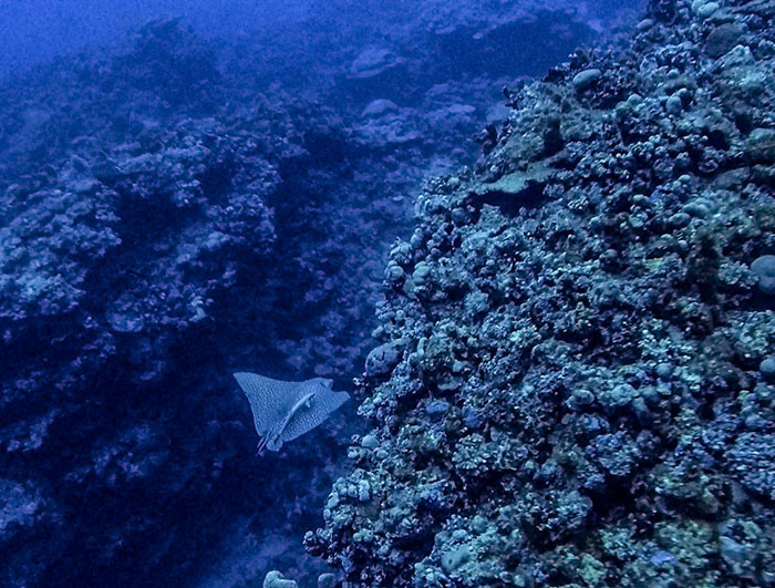 A first for Fiji - this is the first time a rare leopard eagle ray has been recorded in this region.