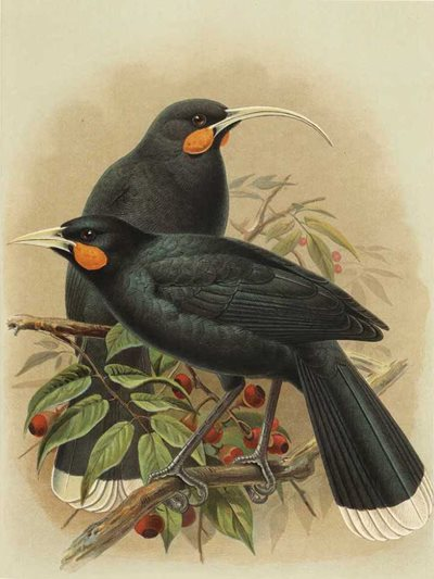 Illustration of two huia from \u003cem\u003eA History of the Birds of New Zealand\u003c/em\u003e (published 1888) by Sir Walter Lawry Buller.