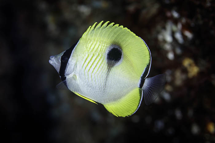 This is the first record at Rangitahua (the Kermadec Islands) of the teardrop butterflyfish Chaetodon unimaculatus. Every time we visit Rangitahua we record tropical fishes that have been observed for the first time at these subtropical islands