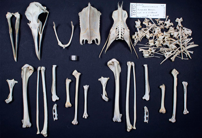 The bones of an animal such as this black-backed gull, can provide much information to researchers about the life the animal lived in a changing world.
